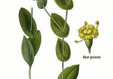 Plant-illustration-of-Chai-Hu
