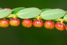 Mature-Fruits-of-Chamber-Bitter