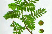 Plant-Illustration-of-Chamber-Bitter