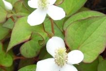 Flowers-of-Chameleon-Plant