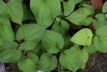 Leaves-of-Chameleon-Plant