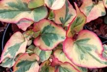 Other-Variety--of-Chameleon-Plant
