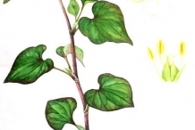Plant-Illustration-of-Chameleon-Plant
