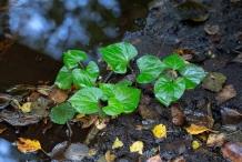 Small-Chameleon-Plant