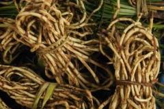 Fresh-chameleon-plant-rhizomes