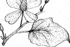 Sketch-of-Chameleon-Plant