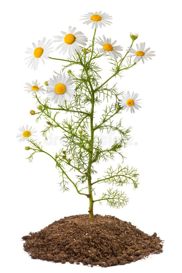 Chamomile-plant
