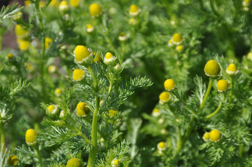 Flower-buds-of-Chamomile