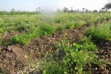 Chamomile-farm