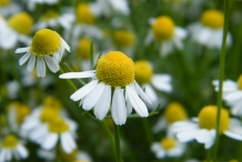 Close-up-flower-of-Chamomile