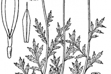 Drawing-of-Chamomile