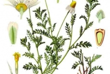 Illustration-of-Chamomile