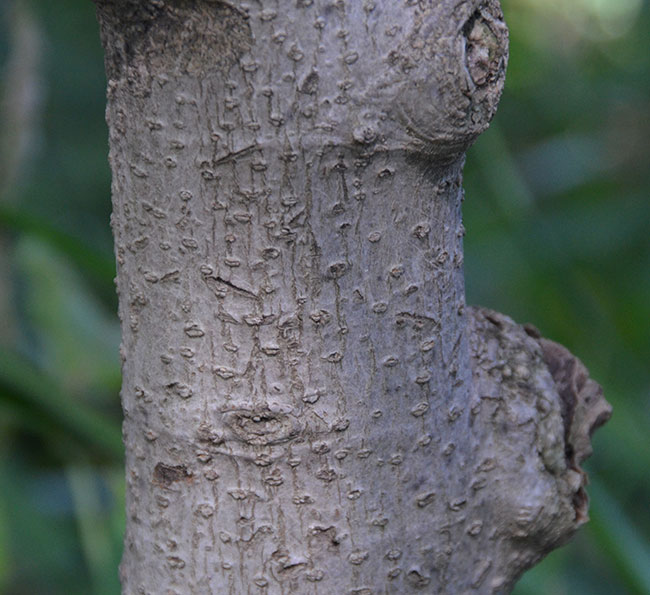 Bark-of-Champak-tree