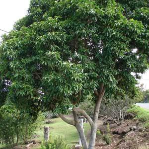 Champak-Tree