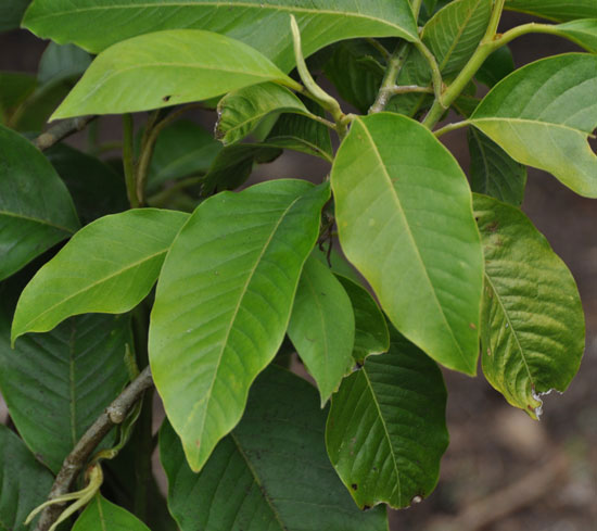 Leaves-of-Champak-tree