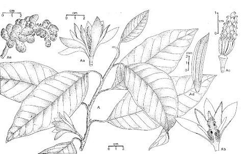 Sketch-of-Champak