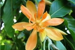 Flower-of-Champak-tree