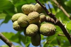 Immature-fruits-of-Champak-plant