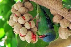 Mature-fruits-of-Champak
