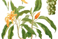 Plant-Illustration-of-Champak