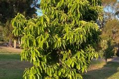 Small-Champak-Tree