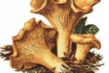 Plant-illustration-of-Chanterelle-mushroom