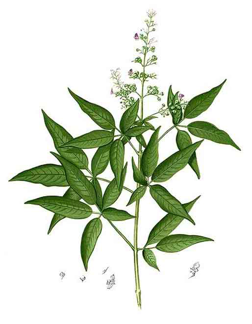 Chaste-tree-Illustration