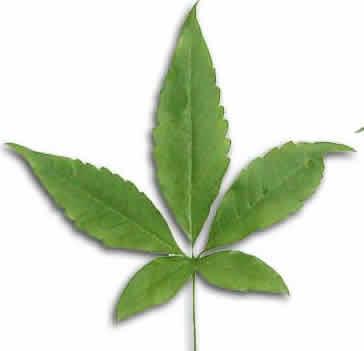 Leaf-of-Chaste-tree