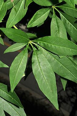 Leaves-of-Chaste-tree