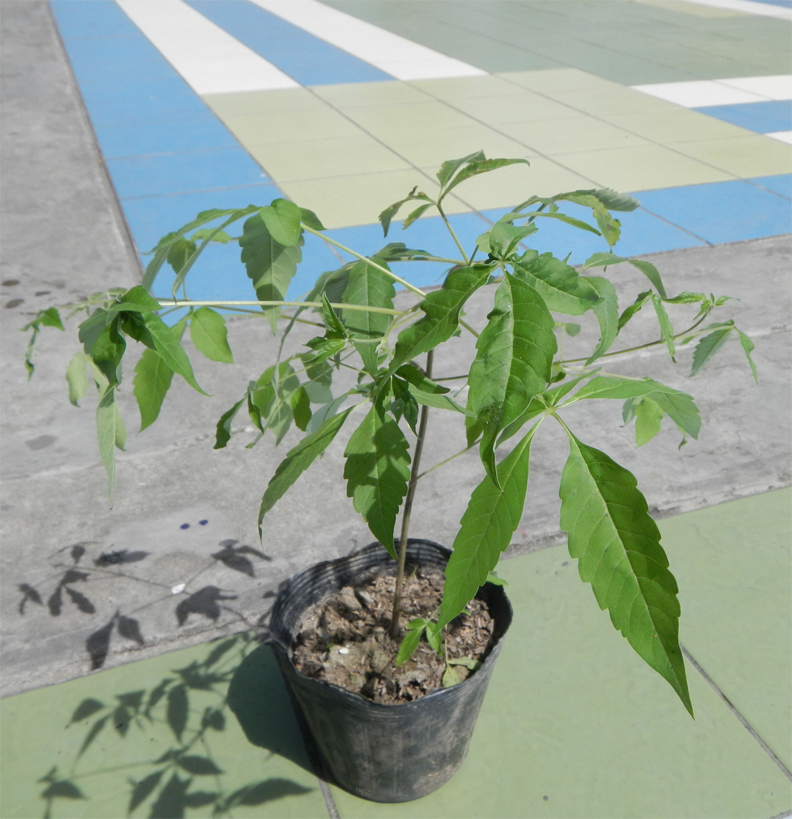 Small-Chaste-plant