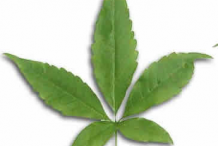 Leaf-of-Chaste-tree