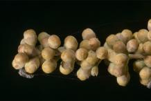 Unripe-Seeds-of-Chaste-tree