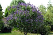 Chaste-tree