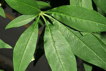 Leaves-of-Chaste-tree
