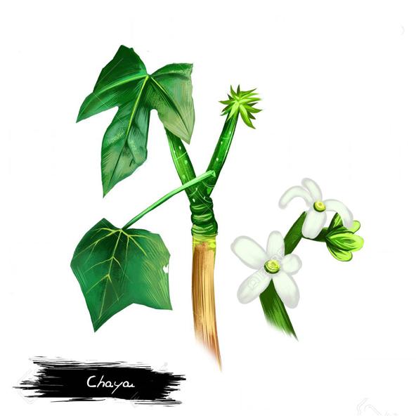 Chaya-plant-Illustration