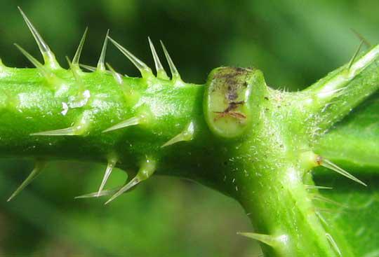 Stinging-hairs-and-petiole-gland-of-chaya