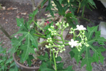 Flowering-buds-and-flowers-of-Chaya