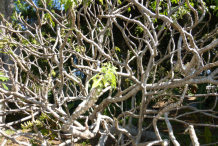 Branches-of-Chaya-plant