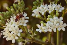Flowers-of-Chaya-plant