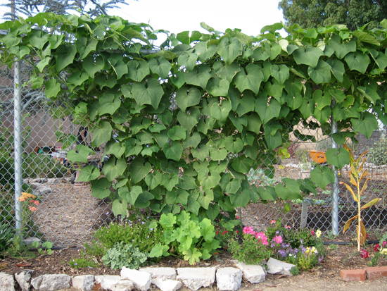 Chayote-plant