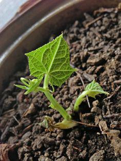 Seedlings-of-Chayote