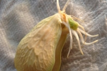 Seeds-of-Chayote
