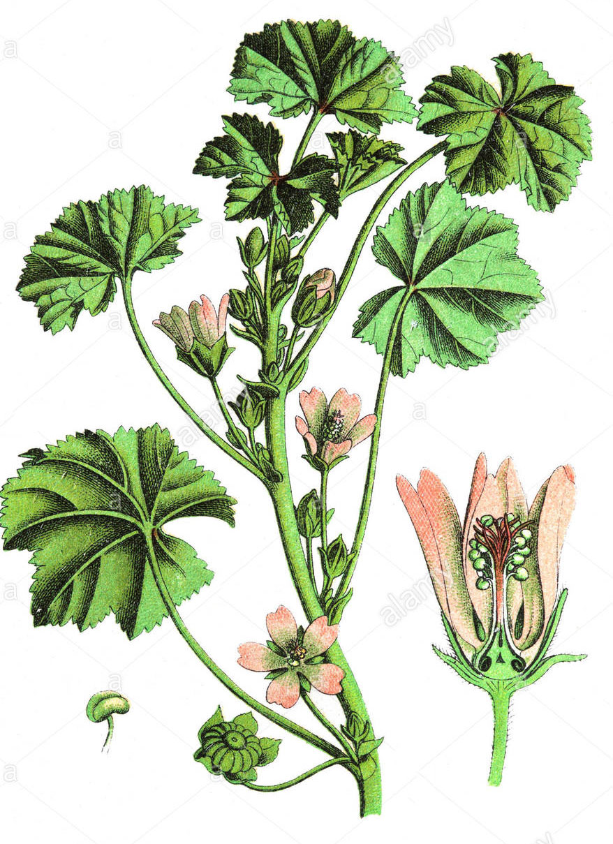 Plant-Illustration-of-Cheeseweed