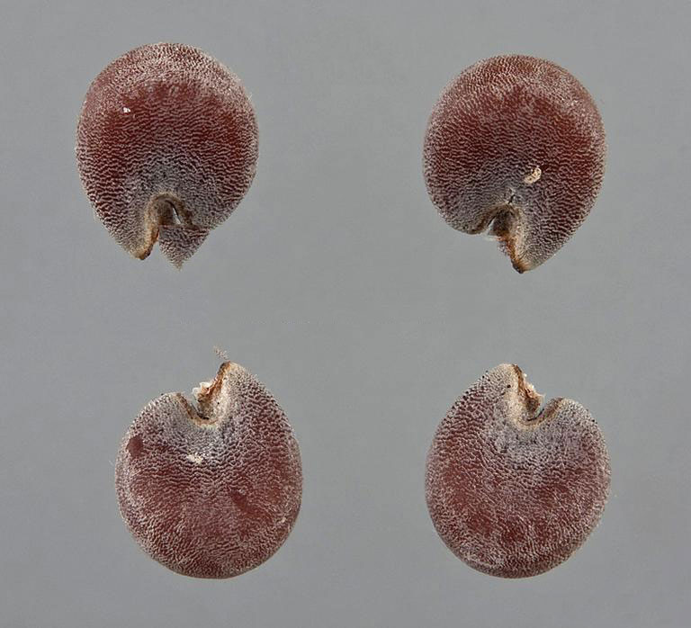 Seeds-of-Cheeseweed