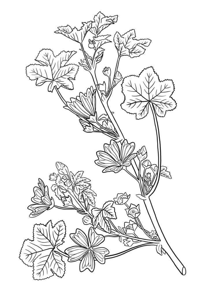 Sketch-of-Cheeseweed