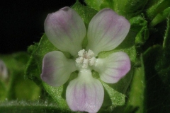 Flower-of-Cheeseweed