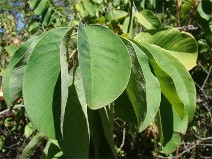 Cherimoya-Leaves