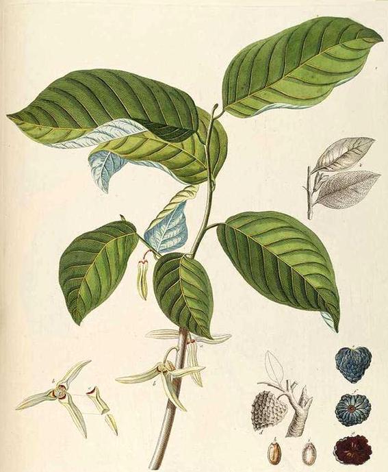 Cherimoya-Plant-Illustration