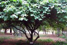Cherimoya-Plant