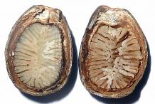 Half-Cut-Cherimoya-seed